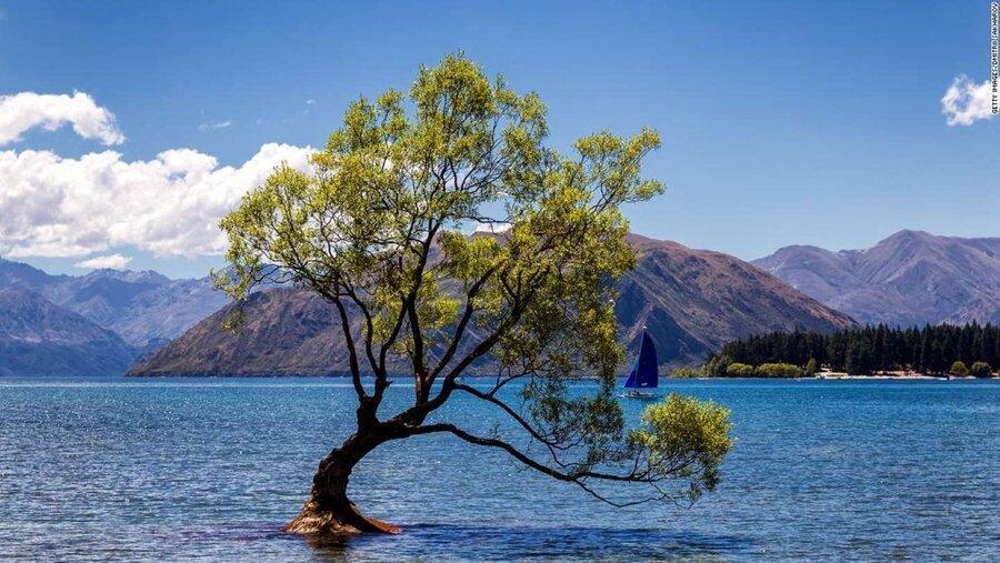 واناکا، معروف ترین درخت اینستاگرام آسیب دید ، سمبل امید نیوزلند را با اره بریدند