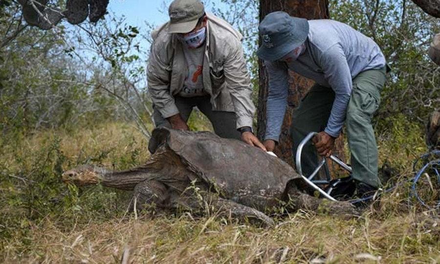 لاک پشت 100 ساله ای که پدر نیمی از لاک پشت های گونه خود است، خاتمه به خانه اش بازگشت