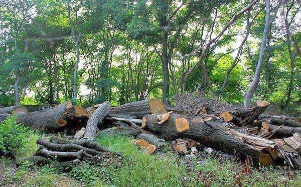 لزوم برداشت 300 هزار مترمکعب درختان افتاده هیرکانی