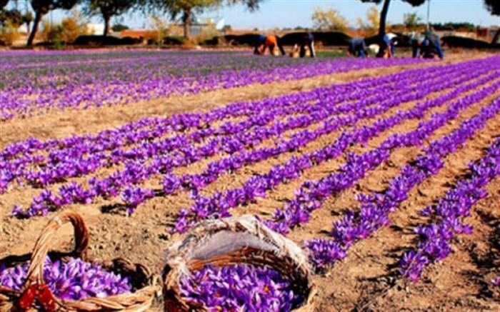 چرا زعفران کشاورزان به قیمت مصوب خریداری نمی گردد؟