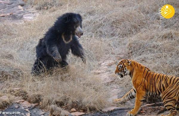 (تصاویر) خرس بچه به دوش ببرها را فراری داد