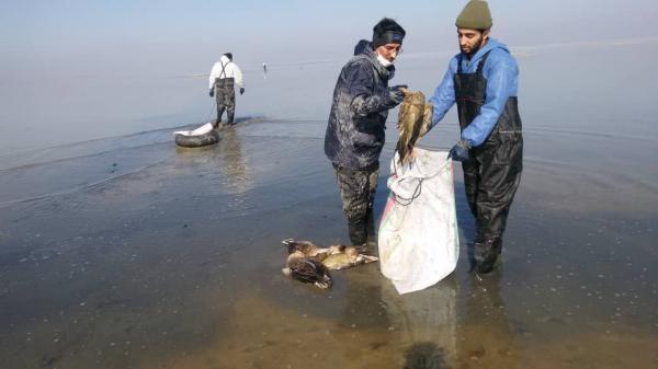 لاشه 970 پرنده از تالاب میقان جمع آوری شد